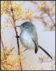 Black-Tailed Gnatcatcher (Ed Sivon) Tags: america canon nature lasvegas wildlife western wild southwest desert clarkcounty vegas flickr bird henderson nevada