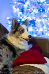 Holiday Test 2 (Kenjis9965) Tags: cardigan welsh corgi corgo pupper doggo sitting couch a7iii sonya7iii sonnar5518za sonnartfe1855 zeiss 55mm f18 za fe christmas holiday festive tree availablelight