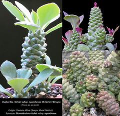 Euphorbia ritchiei subsp. nyambensis (collage)
