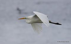 0S8A9982. Great Egret (Egretta alba) (Nick Ransdale (http://www.nick-ransdale.com/)) Tags: egrettaalba greategret