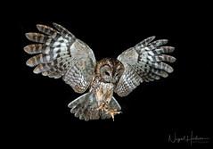 Tawny Owl (Nigel Hodson) Tags: canon 1635mml 1dxmkii owl owls tawny tawnyowl wildlife wildlifephotography nature naturephotography birds birdphotography bird ianhowells
