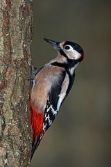 Great spotted woodpecker (john neal photography) Tags: greatspottedwoodpecker bird nature wildlife garden flash sony sigma dorset uk dendrocoposmajor woodland