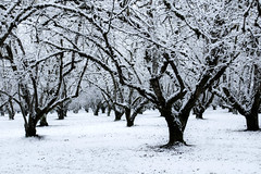 Hazelnut orchard in snow, Willamette Valley, Oregon (Bonnie Moreland (free images)) Tags: orchard hazelnut snow winter limbs trees oregon valley willamette