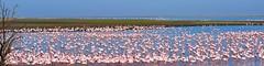 Flamingos , Walvis Bay , Namibia (SuzieAndJim) Tags: panorama namibia walvisbay pink flock flamingo color colour naturephotography nature birds africa suzieandjim