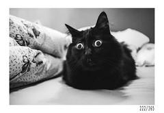 Ox (Aljaž Anžič Tuna) Tags: ox cat kitty blackcat home homect eyes bigeyes photo365 project365 portrait p portraitunlimited onephotoaday onceaday 365 35mm 365challenge 365project nikkor nice naturallight nikon nikkor28mm nikond700 28mm 28mmf28 dailyphoto day dof d700 dark wide wideangle bw blackandwhite black white blackwhite beautiful