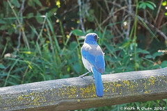 California Scrub-Jay (Aphelocoma californica) (youngwarrior) Tags: oregon sony a77ii basketslough basketsloughnationalwildliferefuge bird corvid jay californiascrubjay aphelocomacalifornica