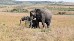 Elephants, Video (Everyday Glory!!!) Tags: masaimara africa kenya safari gamedrive mara wildlife wild maasaimara maasai