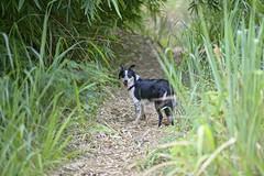 Joni (mcvmjr1971) Tags: nikon d800e mmoraes lens sigma 85mm f14 art niteroi brasil 2018 trilha bairro vila progresso morro do cantagalo cachorro border collie dog