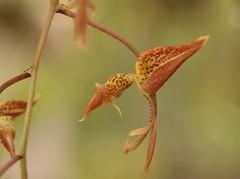 Orqidaceae Gongora quinquenervis Ruíz & Pavón (robertoguerra10) Tags: orqidaceae gongora quinquenervis