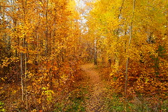 Autumnal young aspens (МирославСтаменов) Tags: russia pushchino moscowregion aspen tree path autumn