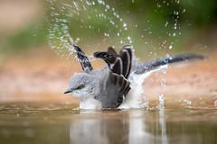 Northern Mockingbird (tspine) Tags: northernmockingbird santaclararanch texas