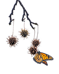 Monarch on Liquid Amber Seed (ronniegoyette) Tags: 2019 liquidambertree monarchbutterfly seedpods liquidamberseed