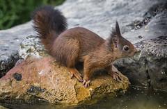 sciurus vulgaris (Josep M.Toset) Tags: animalia chordata catalunya bosc d500 nikon mamífer omnívor josepmtoset esquirol lurgell rosegadors esciúrids sigma150600mmf563sports