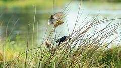 Dark-capped Bulbul (6081) (Bob Walker (NM)) Tags: bird perching grass pycnonotustricolor darkcappedbulbul bulbul khwaitentedcamp moremigamereserve botswana