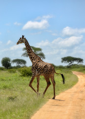 High Traffic (AnyMotion) Tags: giraffe giraffacamelopardalis crossing überquerend road strasse landscape trees bäume sky himmel landschaft landschaftsaufnahmen 2018 anymotion tarangirenationalpark tanzania tansania africa afrika travel reisen animal animals tiere nature natur wildlife 6d canoneos6d