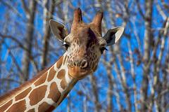 Maybe it's Maybelline (ucumari photography) Tags: ucumariphotography nc north carolina zoo february 2019 animal mammal giraffe horns spots eyelashes longneck giraffa dsc7082 specanimal