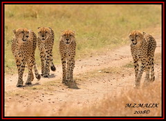 GROUP OF CHEETAHS (Acinonyx jubatus).....MASAI MARA....SEPT, 2018. (M Z Malik) Tags: nikon d800e 400mmf28gedvr kenya africa safari wildlife masaimara keekoroklodge exoticafricanwildlife exoticafricancats flickrbigcats cheetah acinonyxjubatus ngc npc