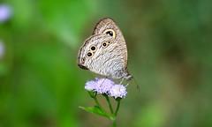 Butterfly (key's memories) Tags: canon 5d mark 4 100400mm is ii