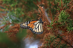 Monarch resting on cedar tree (MyFWCmedia) Tags: butterfly monarch migratory nature wildlife coastal floridafishandwildlifeconservationcommission fwc florida nationalwildliferefuge publiclands stmarksnationalwildliferefuge wakullacounty stmarks usa