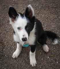 Throwback Thursday (Rainfire Photography) Tags: bordercollie puppy dog splitface heterochromia portrait toronto nikon