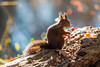 Hoernchen-2018-3262.jpg (Joachim Dobler) Tags: eichhörnchen eichhoernchen squirrel écureuil ardilla scoiattolo esquilo nature natur nagetier esquito wildlife animal cute naturephotography squirrellove wildlifephotography bestsquirrel nutsaboutsquirrels cuteanimals