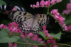 A Paper Kite at the Butterfly Pavilion (BlackSnowflake-Photography) Tags: nikon nikonafp7030mmf4556 paperkite butterfly pavilion colorado blacksnowflake d5500