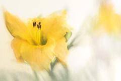 7259TSc Day Lily (foxxyg2) Tags: lily daylily yellow flowers topaz topazsoftware topazstudio art naxos cyclades greece green colour texture
