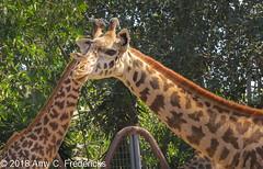 San Diego Zoo - Masai giraffe (etacar11) Tags: sandiegozoo sandiego california zoos giraffacamelopardalistippelskirchii masaigiraffe giraffes