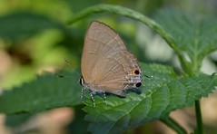 Common tit Butterfly Hypolycaena erylus (radhikaibr) Tags: lepidoptera papilionoidea lycaenidae theclinae hypolycaenini hypolycaena commontit butterfly