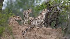 Cheetah - Jachtluipaard -9058 (Theo Locher) Tags: acinonyxjubatus cheeta cheetah jachtluipaard zoogdieren mammals mammifères säugetiere gepard guépard southafrica zuidafrika kruger krugernationalpark copyrighttheolocher