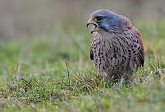 Kestrel (davy ren2) Tags: nikon d500 nature prey photograthy wildlife kestrel male