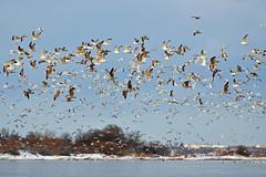 Зимний пейзаж. (tam6524) Tags: landscape january nature river water birds sky snow seagulls