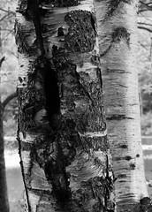 Birches (RockN) Tags: birches trees bw baxterstatepark maine newengland 1000placesusa august2016