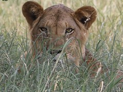 Lion (bikohuester) Tags: lion bigcat wildlifephotography wildlife animal predator conservation outdoor nature safari travel meru kenya africa adventure discover