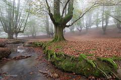 En Otzarreta (mabarror) Tags: otzarreta bosque hayas nieblas paísvasco mabarror manuelbarragánrodríguez bosques otoño paisvasco
