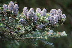 Laden Pine Bough (Toats Master) Tags: sweden gothenburg garden plants nature trees pines