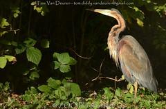 purperreiger - Ardea purpurea - Purple Heron (MrTDiddy) Tags: purperreiger ardea purpurea purple heron zooplanckendael zoo planckendael dierenpark