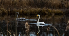 Swan family (real.jtj) Tags: bird birds family woods wildlife natur skog svan fågel fåglar falun hosjö sverige sweden