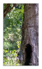Lace Monitor (Paul Weller Photography) Tags: australia lizard tree goanna varanusvarius upsidedown