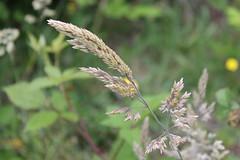 Wild Grass (Tasumi1968) Tags: wildgrass grass