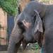 Elephant Portrait (1X7A4612b)