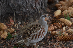 Grey Partridge (Prairie_Wolf) Tags: birding rachelmackayphotography brownloweryprovincialpark rockymountains alberta