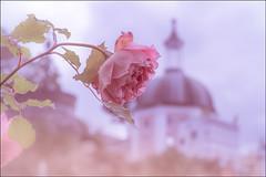 "Portmeirion Rose (mandyhedley) Tags: rose portmeirion nature pink depth field depthoffield petals tourist village northwales italianvillage charity abigfave flora flowerphotography superb simplysuperb ""flickrtravelaward"""