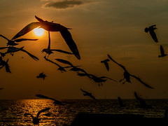 Sunset and seagulls (Thanathip Moolvong) Tags: seagull bird sunset bangpu thailand sea retreat silhouette shadow