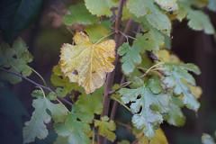 DSC09726 (Lens Lab) Tags: sony a7r achromat 100mm plants garden leaves