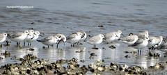 DSC01448 Sanderlings (Calidris alba) (vlupadya) Tags: greatnature bird animal aves fauna indianbirds sanderling calidris kundapura karnataka