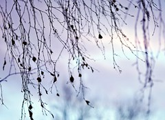 Last leaves-hearts (Stefano Rugolo) Tags: stefanorugolo pentax k5 pentaxk5 kmount smcpentaxm100mmf28 ricohimaging lastleaves leaves branches sky evening tree abstract impression purple magenta depthoffield hälsingland sweden hearts