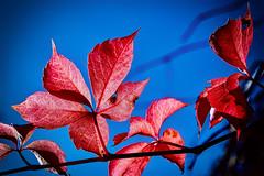 Feuilles revêtues de leurs couleurs d'automne (thierrybalint) Tags: automne feuilles couleurs nikon nikoniste nature flore flora colors leaves autumn