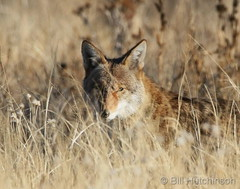 December 9, 2018 - A Coyote on the prowl at the Rocky Mountain Arsenal. (Bill Hutchinson)