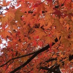 晩秋 In the late autumn (eyawlk60) Tags: lateautumn winter japan momiji kayede 12月 カエデ モミジ 紅葉 日本 初冬 晩秋